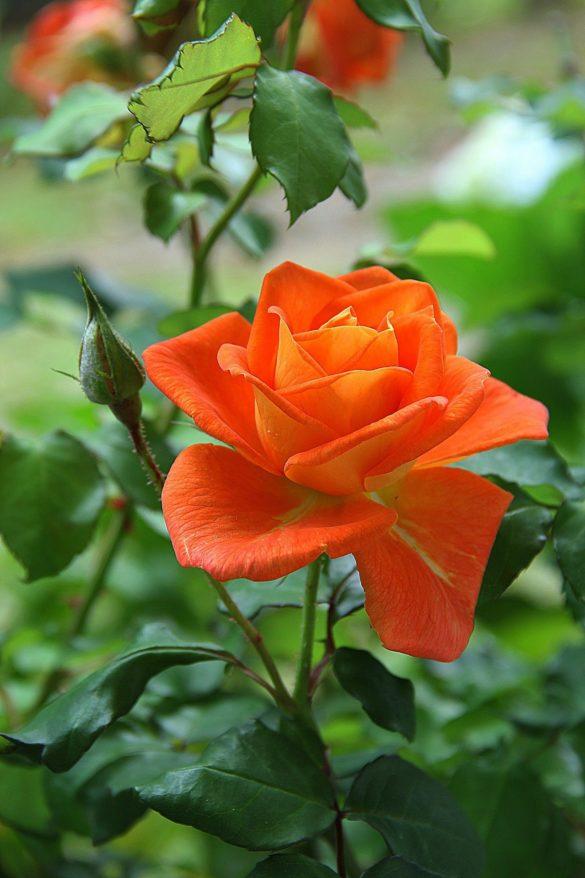 imagine cu un trandafir frumos pentru telefon