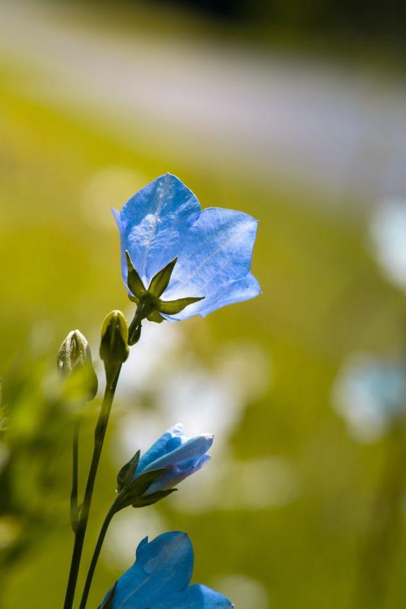 imagine de fundal cu flori