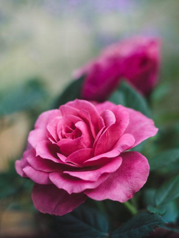 imagini cu trandafiri telefon