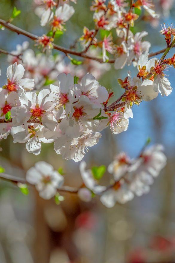 poza cu flori de cires