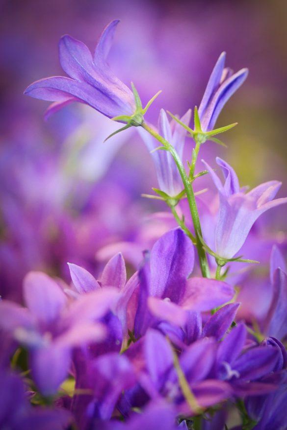 poza cu violete